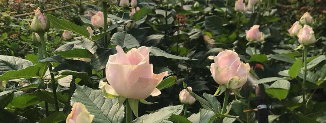 Griezto rožu kopšanas, uzglabāšanas un transportēšanas ieteikumi