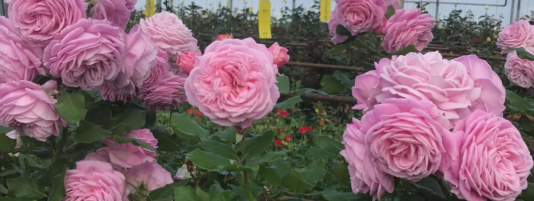 Kā kopt rožu stādu?