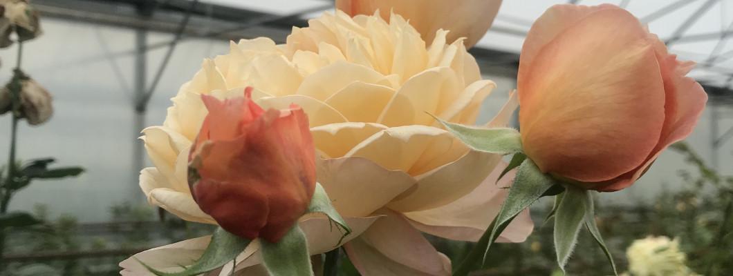 Kā pareizi ieziemot rozes?