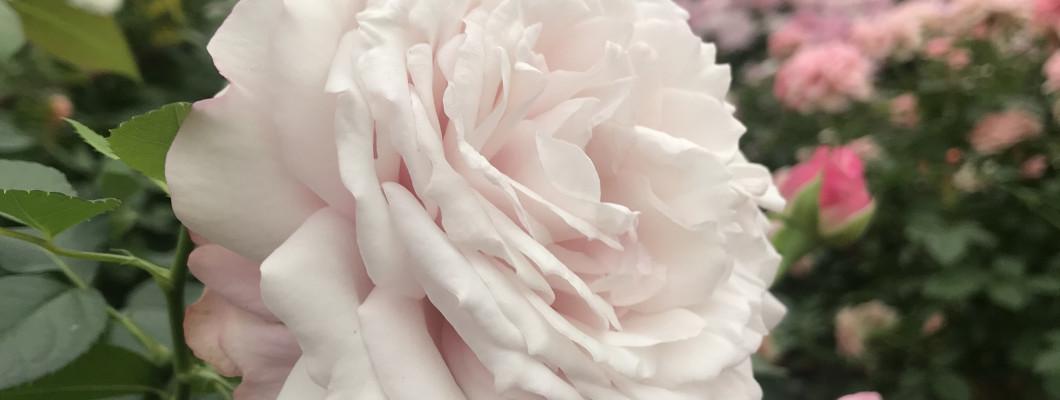 Kā izvēlēties vietu, kur stādīt rožu stādus?