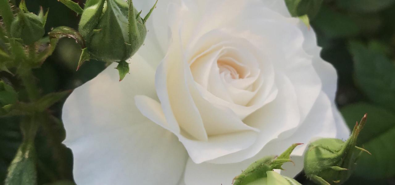 Rozes, kas ziedēs arī uz Tava balkona