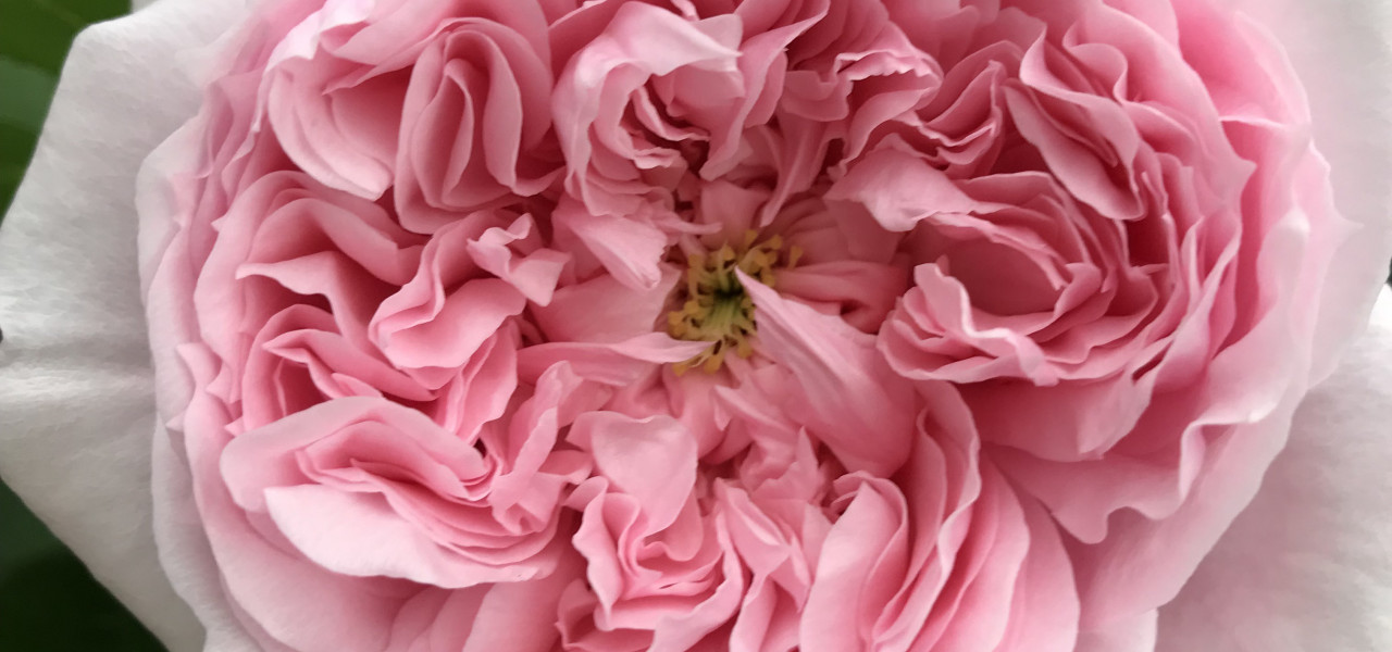 Šobrīd pieejamie rožu stādi