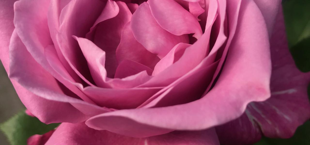 Rozes ar neaizmirstami skaistu smaržu